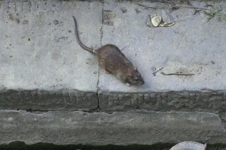 blatte e topi casalnuovo (immagine di repertorio)